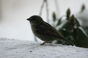 Buchfink Weibchenl31.12 002